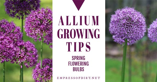 Alliums are those gorgeous flowering perennials in the spring garden with the big, round purple flower heads on tall, green stems. They are easy to grow, attract bees and butterflies, and deer and rabbits don't like them.