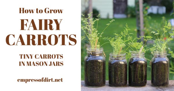 Tiny salad size carrots growing in mason jars.