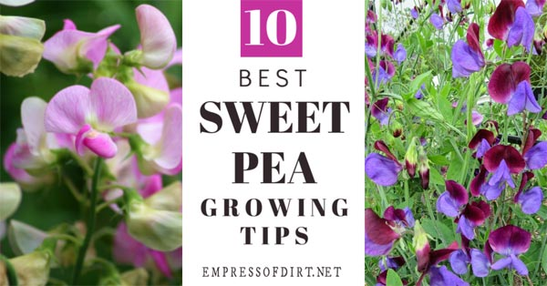 Tips for growing sweet peas.