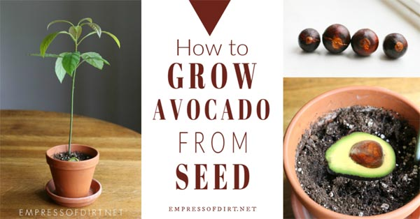 Growing avocado from seed.