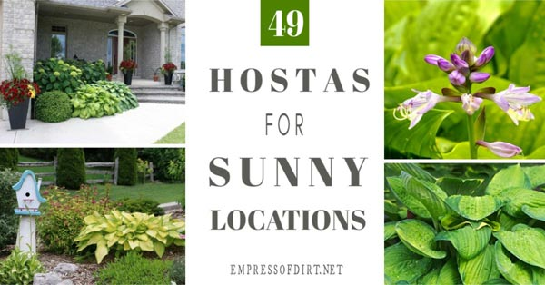 49 Hostas For Sunny Locations Empress Of Dirt