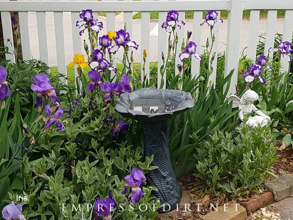 Purple and white irises by white picket fence.