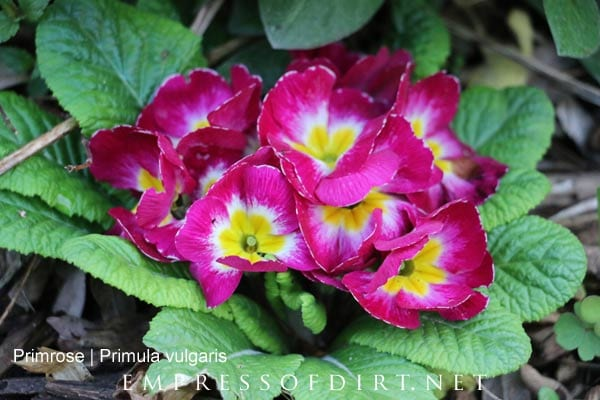 Pink hardy primroses in spring garden.