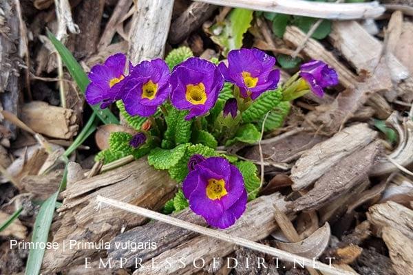 Purple hardy primroses in spring garden.