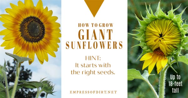 Growing giant sunflowers.