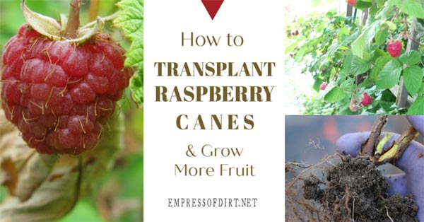 Raspberry bushes, fruit, and root balls.