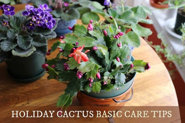 How to care for holiday cacti.