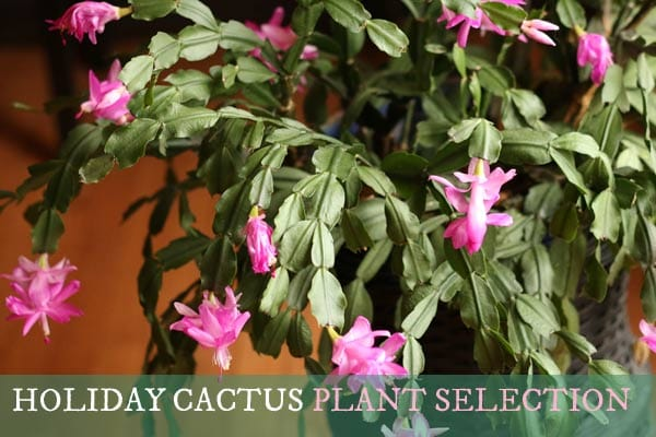 How to choose a healthy holiday cactus.