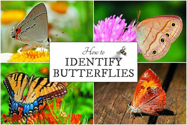 Helpful tips for indentifying butterflies