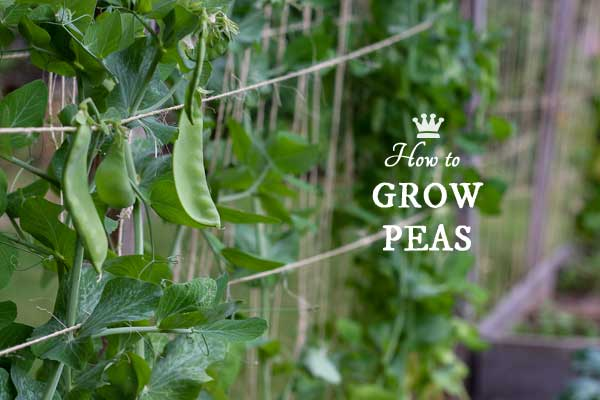 Beginner garden tips for growing snow, snap, shell, and sugar peas in the home garden.