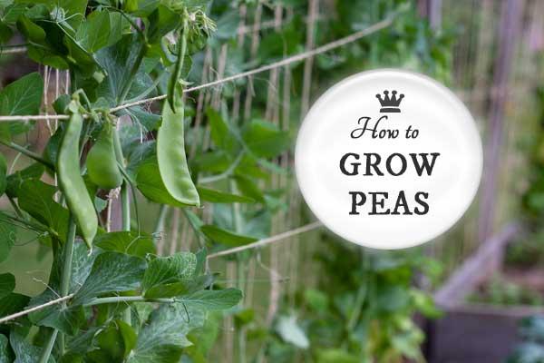 Beginner garden tips for growing snow, snap, shell, and sugar peas in the home garden.