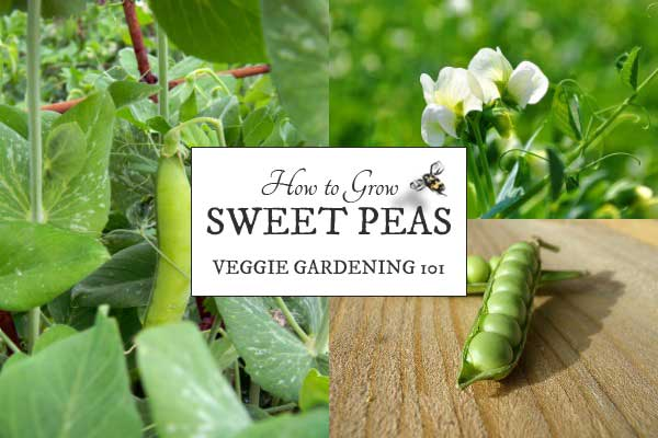 How to Grow Peas | Sweet, Delicious Homegrown Veggies