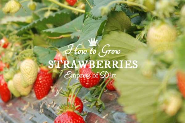 How to Grow Strawberries