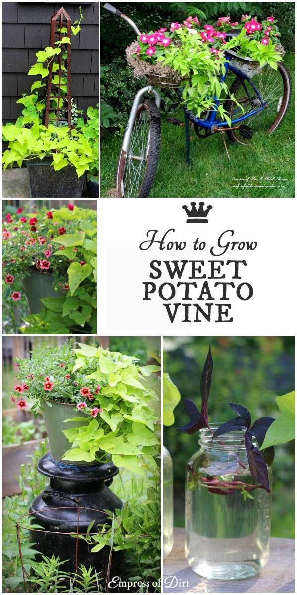 how to make a sweet potato vine