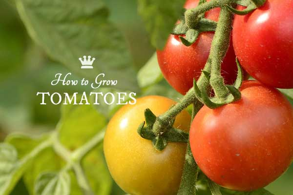 How to grow tomatoes from seed to table including a handy chart showing the types of tomatoes and where to grow them.