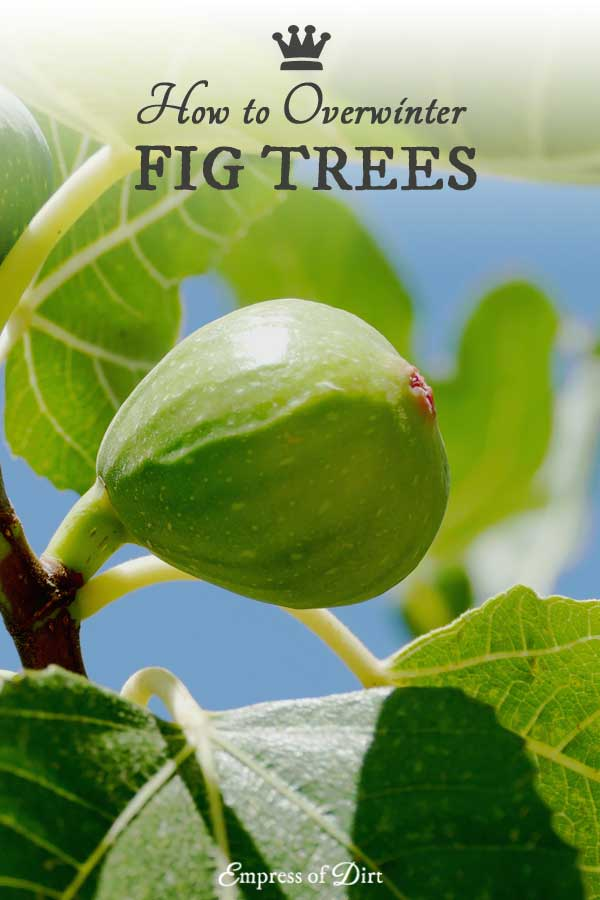How to overwinter potted fig trees