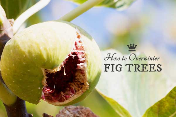 How to Overwinter Fig Trees in a Cold Climate