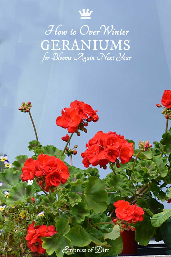Those tall, robust, colorful geraniums (also known as zonal geraniums or Pelargonium x hortorum) can grow for many years if you take care to protect them during the winter. There are five options for this. The most obvious is to continue growing them indoors as houseplants, but, if space is limited, you can also put them in storage until spring. Come see how it's done!