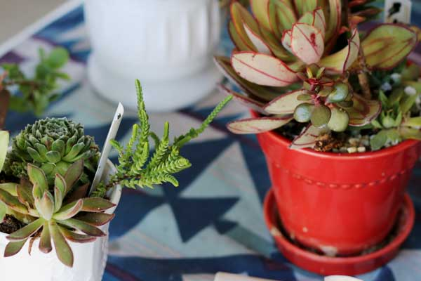 It's quite simple to propagate succulents from the plants you have. Learn how to take leaves and cuttings to make more free plants.