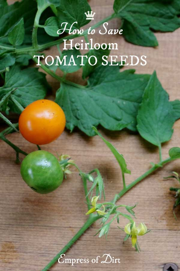 This easy tutorial shows you how to save seeds from heirloom tomatoes so you can grow more of the same kind next year.