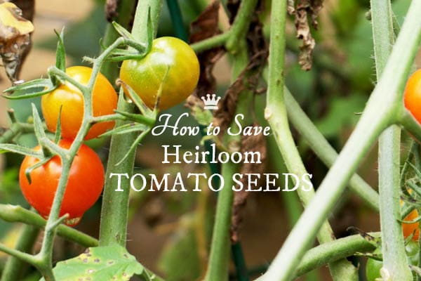 How To Save Heirloom Tomato Seeds