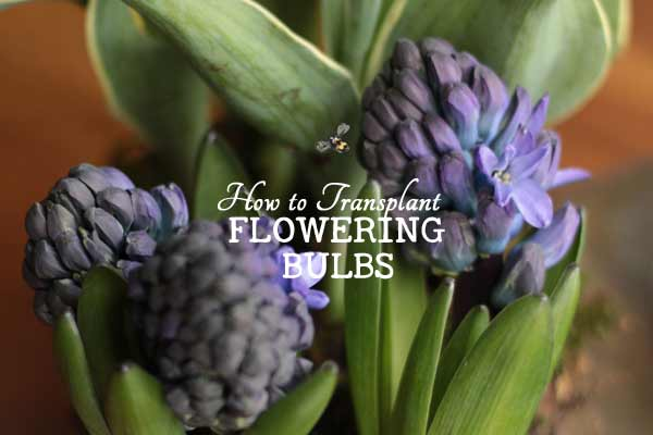 How to Transplant Spring-Flowering Bulbs