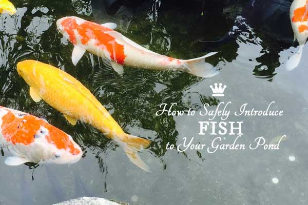 How to Add Fish to a Backyard Garden Pond