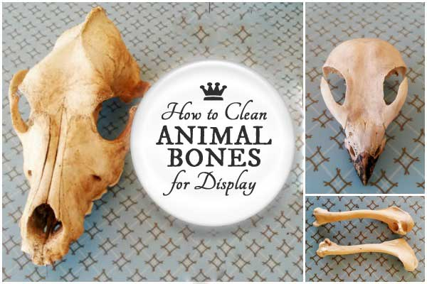 How to Clean Animal Bones for Display