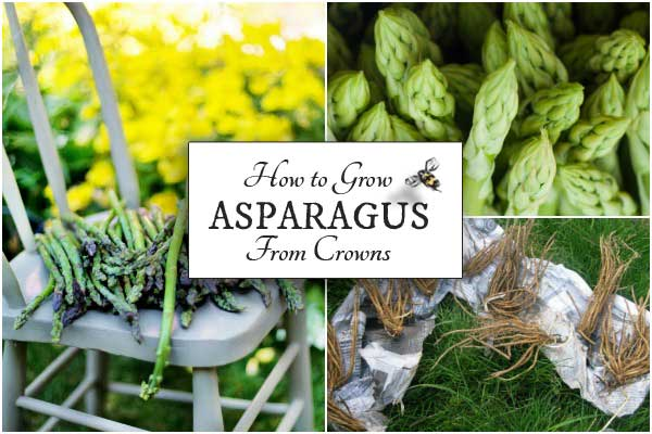 How To Grow Asparagus From Crowns