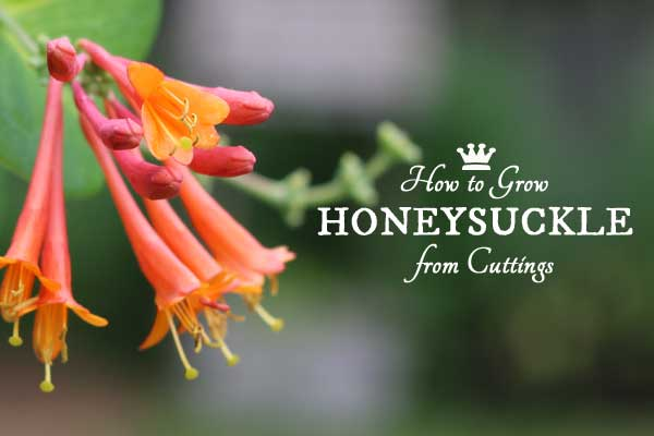 How to Grow Honeysuckle Vine from Cuttings