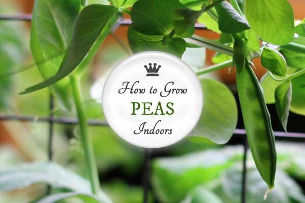 How To Grow Peas Indoors