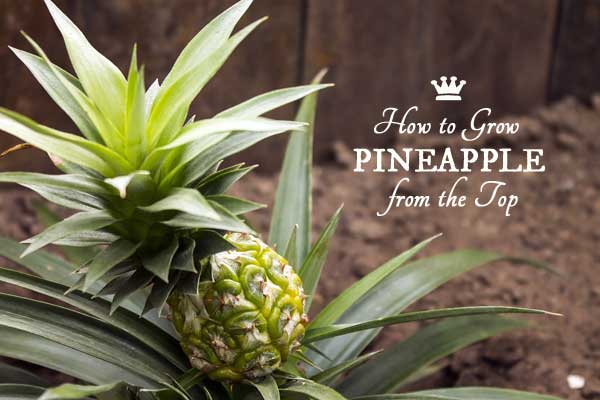 how to grow a pineapple plant indoors empress of dirt. Black Bedroom Furniture Sets. Home Design Ideas