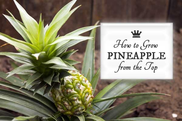 How to grow a pineapple indoors with the twist top method
