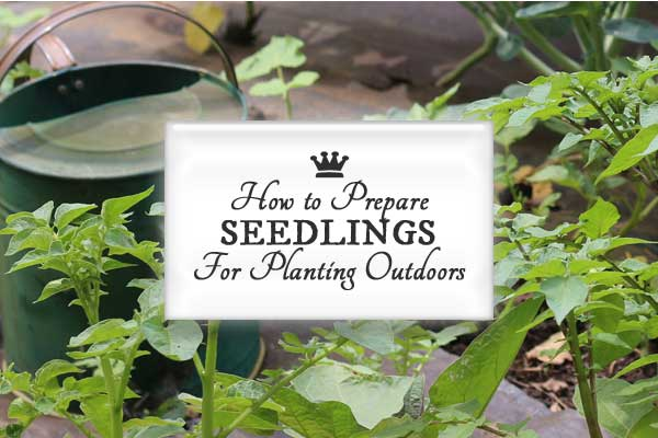 How to harden off seedlings for planting outdoors so they can happily adjust to life in the garden.