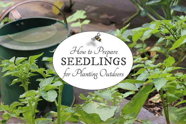 How to prepare indoor seedlings for planting outside. This process is called 'hardening off' but it really just means you introduce the seedlings to the outdoors gradually so they don't get shocked by the changes.