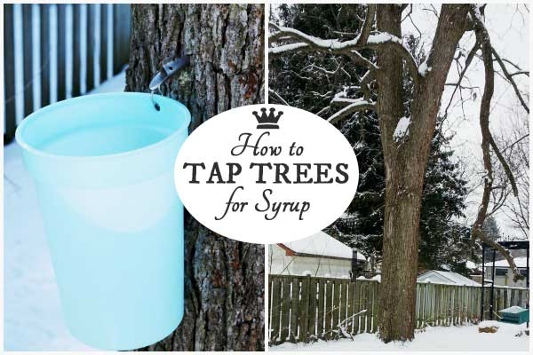 How to tap trees in your garden for sap to make homemade syrup