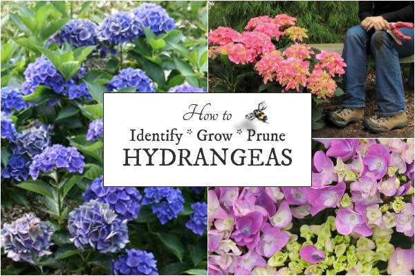 How to identify, grow, and when to prune hydrangeas