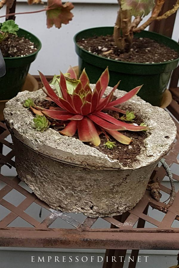 This red succulent looks gorgeous in the rustic hypertufa planter.