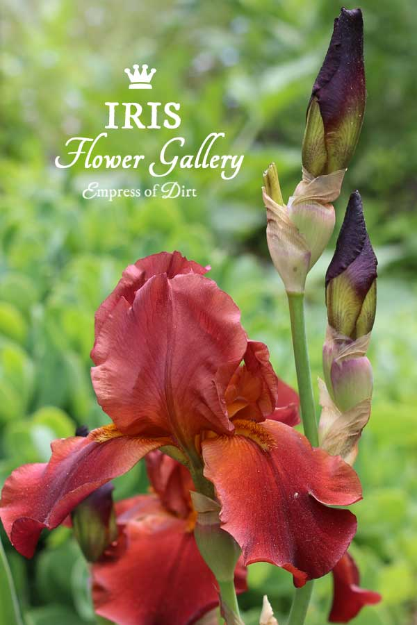 A flower gallery featuring a rainbow of iris blooms