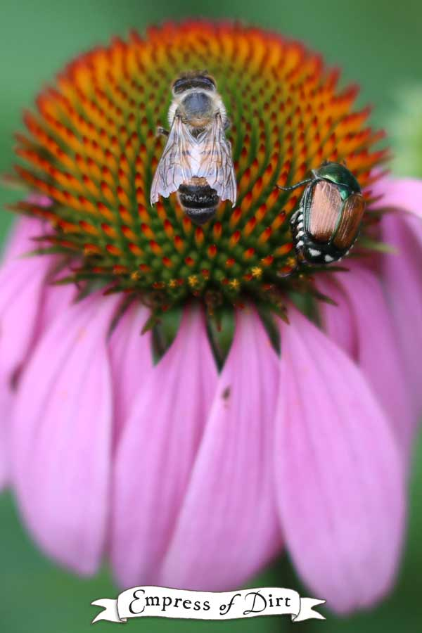 Japanese beetle on coneflower with a bee.l While there is no way to completely get rid of Japanese beetles, these tips can help us catch more of them.