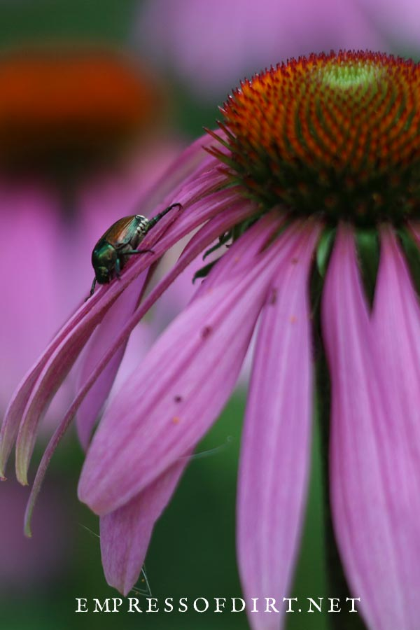 Japanese beetle on coneflower.