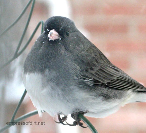 Junco in the garden, waiting for his turn at the birdfeeder.