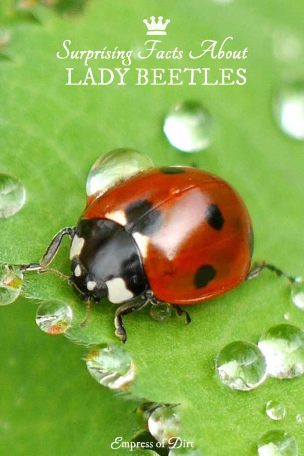 Lady beetles are known to be good for the garden but it's not quite that simple. Find out why you might be recognizing them and learn more about the secret lives of these natural (good) enemies.