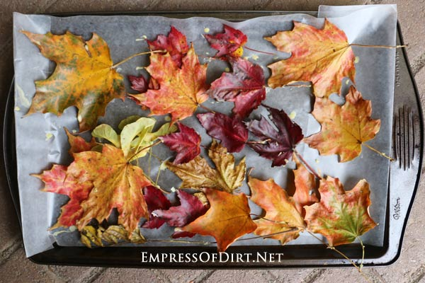 Fall leaves preserved in beeswax.