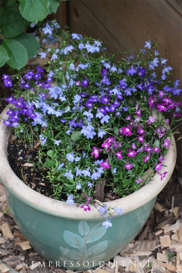 If you keep lobelia moist, they will fill a planter like this by mid-summer.