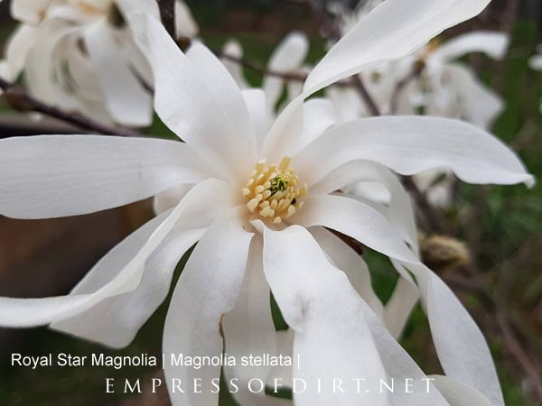 White magnolia blossoms in spring garden.