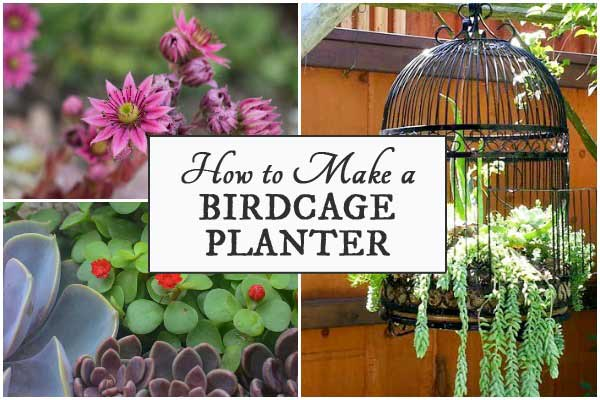 Birdcage planters are a favorite with creative gardeners. These tips share ideas for setting up a new or upcycled birdcage as a planter for succulents or annuals.