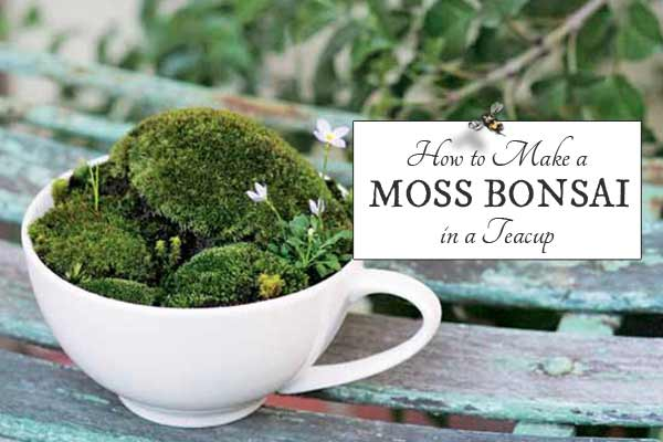 How to make a moss bonsai in a teacup from the book, Miniature Moss Gardens