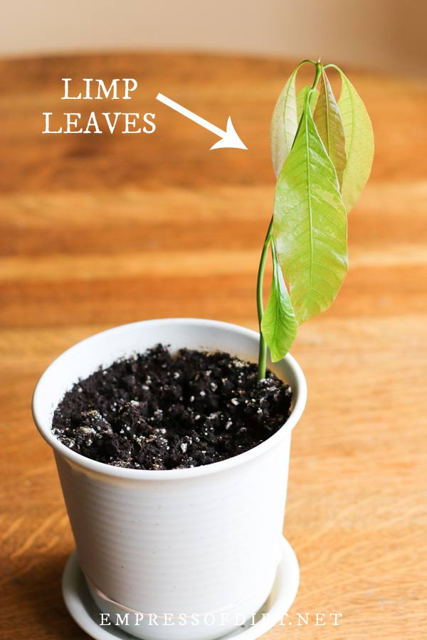 Young mango tree with limp leaves.