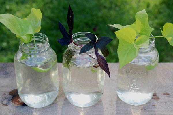 Old canning jars are useful for rooting plants in water.